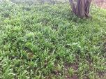 Wild Garlic Livingstone Centre